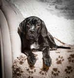Cane corso puppy on a white background. Cane corso puppy sits on a white background Stock Photo