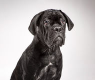Cane corso puppy on a white background Royalty Free Stock Photos