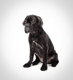 Cane corso puppy on a white background. Cane corso puppy sits on a white background Stock Image