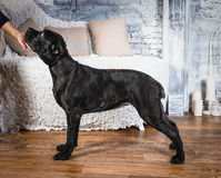 Cane corso puppy on a white background. Cane corso puppy sits on a white background Royalty Free Stock Images