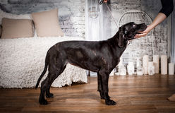 Cane corso puppy on a white background. Cane corso puppy sits on a white background Stock Photography
