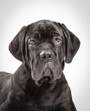 Cane corso puppy on a white background Stock Photo