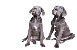 Cane corso puppy on a white background Stock Photography
