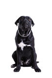 Cane Corso purebred dog Stock Photos