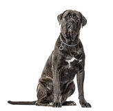 Cane corso sitting, isolated Royalty Free Stock Photos