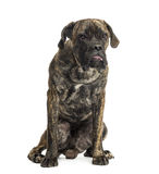 Cane Corso sitting, 8 months old Stock Photos