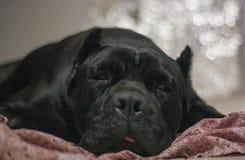 Cane Corso Sleeping royalty free stock photos