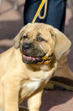 Cane Corso with a smile Royalty Free Stock Photo
