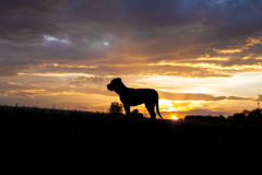 Cane corso in sunset. Cane corso 9 month old large bred pupy stock photo