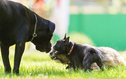 Cane Corso, Tibetan terrier and French bulldog. In a friendship Stock Photography