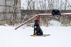 Cane Corso is waiting for his master in the cold stock image