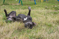 Cane corso wallow on the grass Stock Image