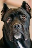 Cane Corso Whelp Puppy Dog Close Up stock image