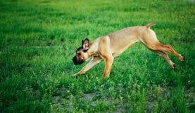Cane Corso Whelp Puppy Running On Green Grass Royalty Free Stock Photos
