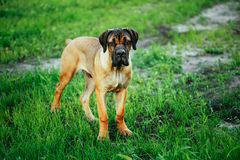 Cane Corso Whelp Puppy Standing On Green Grass Royalty Free Stock Images
