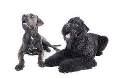 Cane Corso y el terrier negro ruso Foto de archivo