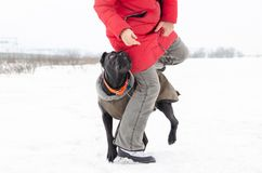 Cane Corso. Young dog plays with its owner. royalty free stock photo
