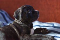 Cane Corso-Zuchtwelpe, intelligenter Hund Lizenzfreie Stockfotos