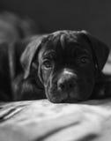 Cane Corso-Zuchtwelpe, intelligenter Hund Stockbild