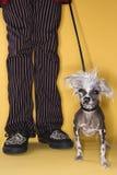 Cane crestato cinese sul guinzaglio. Fotografie Stock