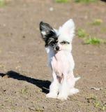 Cane crestato di cinese nudo bianco Fotografia Stock