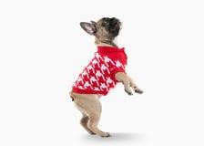Cane Cucciolo del bulldog francese su fondo bianco Immagini Stock