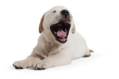 Cane - cucciolo del documentalista dorato Fotografie Stock
