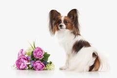 Cane Cucciolo di Papillon su un fondo bianco Immagine Stock
