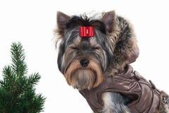 Cane Cucciolo di Yorkie con l'albero di Natale su fondo bianco Immagini Stock