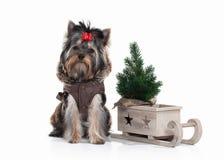 Cane Cucciolo di Yorkie con l'albero di Natale su fondo bianco Fotografie Stock Libere da Diritti