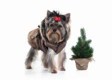 Cane Cucciolo di Yorkie con l'albero di Natale su fondo bianco Fotografia Stock