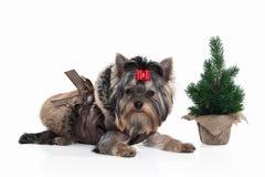 Cane Cucciolo di Yorkie con l'albero di Natale su fondo bianco Fotografia Stock Libera da Diritti