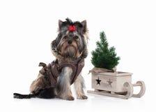 Cane Cucciolo di Yorkie con l'albero di Natale su fondo bianco Immagine Stock Libera da Diritti