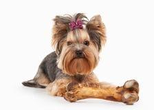 Cane Cucciolo di Yorkie sul fondo bianco di pendenza fotografia stock