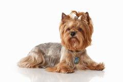 Cane Cucciolo di Yorkie sul fondo bianco di pendenza immagini stock libere da diritti