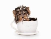 Cane Cucciolo di Yorkie sul fondo bianco di pendenza fotografie stock