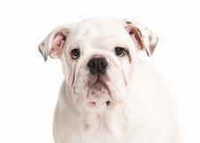 Cane Cucciolo inglese del bulldog su fondo bianco Fotografia Stock