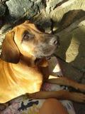 Cane - cucciolo - Ridgeback fotografie stock libere da diritti