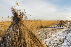Cane Cultivation Field in Winter Giethoorn Royalty Free Stock Photography