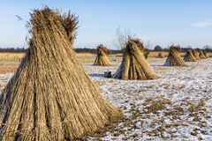 Cane Cultivation in Giethoorn Royalty Free Stock Image