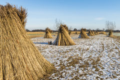 Cane Cultivation in Winter Giethoorn Royalty Free Stock Photo