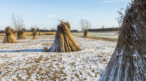 Cane Cultivation in Winter, Giethoorn Royalty Free Stock Image