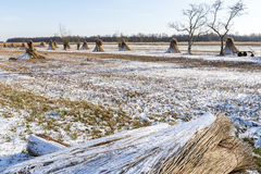 Cane Cultivation on Winter Meadow Giethoorn Holland Royalty Free Stock Images