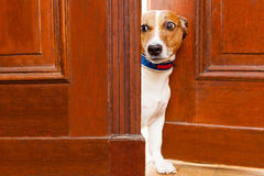 Cane curioso alla porta fotografie stock