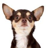 Cane curioso della chihuahua Fotografia Stock Libera da Diritti