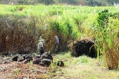 Cane cutter. In sugar cane fields in mauritius stock image