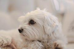 Cane d'appartamento maltese bianco che esamina la distanza immagini stock
