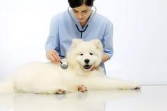 Cane d'esame veterinario sulla tavola nella clinica del veterinario fotografia stock libera da diritti