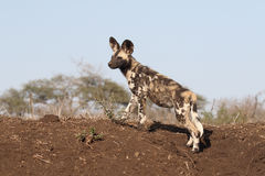 Cane da caccia africano del capo, pictus di Lycaon Immagine Stock Libera da Diritti