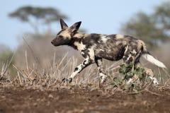 Cane da caccia africano del capo, pictus di Lycaon Immagini Stock Libere da Diritti